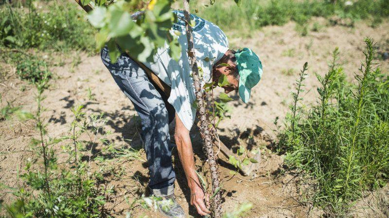 Nyíregyháza, 2014. július 7. Egy közfoglalkoztatott férfi fiatal nyárfaerdõt kapál Nagykálló közelében 2014. július 7-én. A Nyírségi Erdészeti (Nyírerdõ) Zrt. foglalkoztatásában 815-en dolgoznak szeptemberig a közfoglalkoztatási programban az északkelet-magyarországi állami tulajdonú erdõkben. MTI Fotó: Balázs Attila