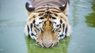 Gyöngyös, 2016. június 24. Szibériai tigris fürdik medencéjében a Gyöngyösi Állatkertben 2016. június 24-én. MTI Fotó: Komka Péter