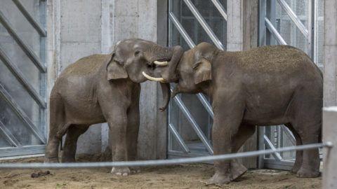 Szeged, 2018. május 27. A közelmúltban érkezett ázsiai elefántok (Elephas maximus) a Szegedi Vadaspark új elefántházában az átadóünnepség napján, 2018. május 27-én. A vadaspark történetének eddigi legnagyobb, 480 millió forintos beruházással, uniós támogatással felépült elefántháza öt állat tartására alkalmas. MTI Fotó: Rosta Tibor