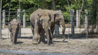 Szeged, 2018. május 27. A közelmúltban érkezett három ázsiai elefánt (Elephas maximus) a Szegedi Vadaspark új elefántházában az átadóünnepség napján, 2018. május 27-én. A vadaspark történetének eddigi legnagyobb, 480 millió forintos beruházással, uniós támogatással felépült elefántháza öt állat tartására alkalmas. MTI Fotó: Rosta Tibor