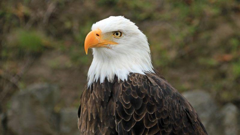 Bald eagle, close