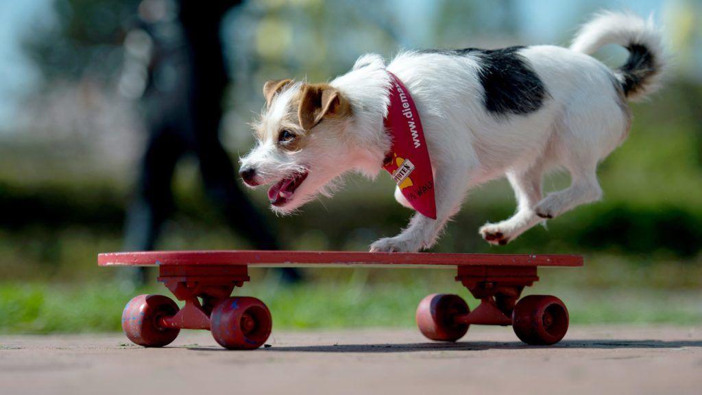 Dortmund, 2015. április 28. Gördeszkázó kutya a dortmundi kutya és macskakiállítást beharangozó sajtóeseményen 2015. április 28-án. A kiállítást május 8. és 10. rendezik a nyugatnémet városban. (MTI/EPA/Maja Hitij)