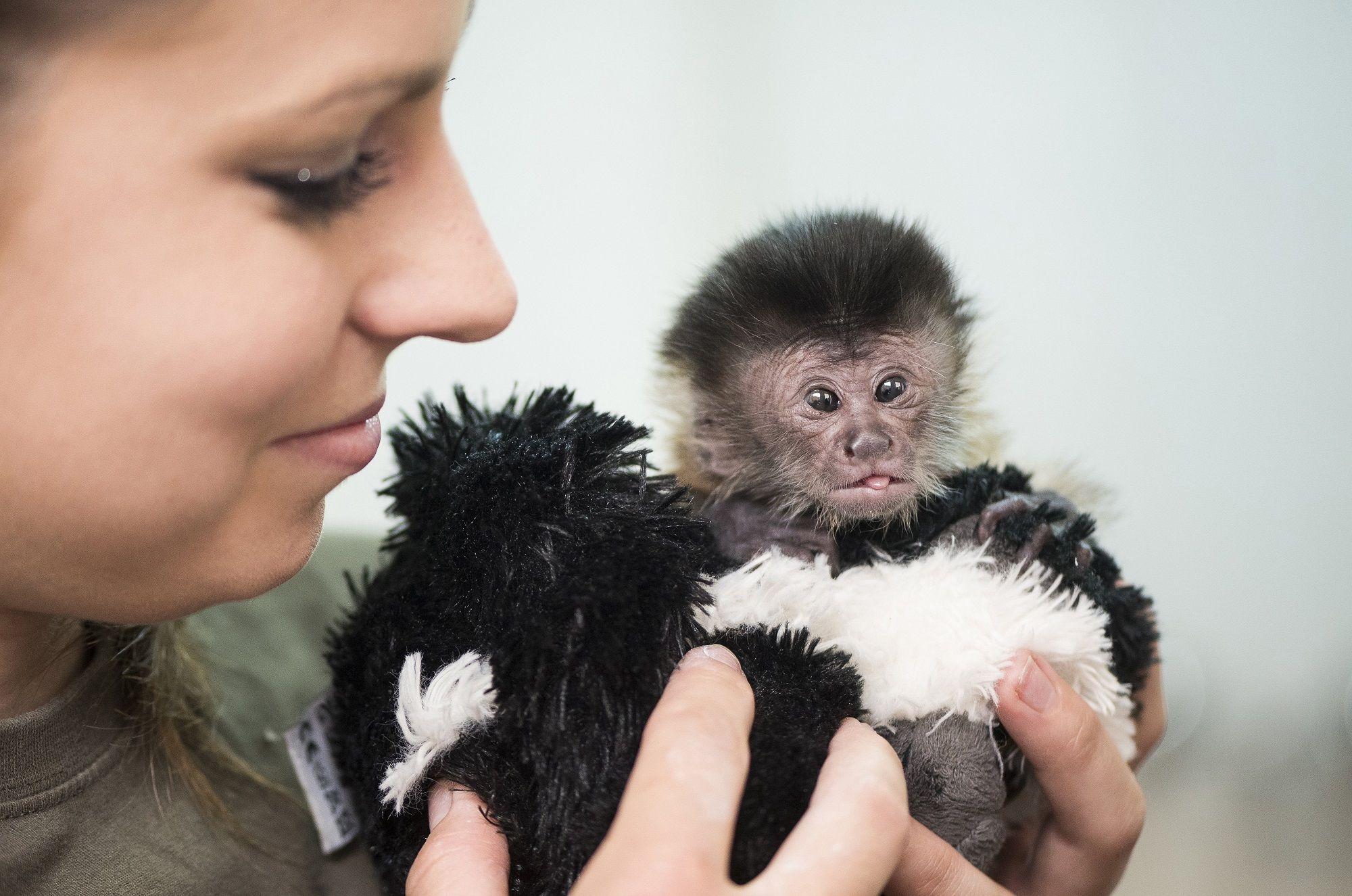 Debrecen, 2018. május 25. Labovszki Milla állatgondozó kezében egy újszülött kapucinus majom (Cebus capucinus) a Debreceni Állat- és Növénykertben 2018. május 25-én. Az állat két héttel ezelõtt született. MTI Fotó: Balázs Attila