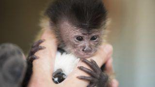 Debrecen, 2018. május 25. Újszülött kapucinus majom (Cebus capucinus) gondozója kezében a Debreceni Állat- és Növénykertben 2018. május 25-én. Az állat két héttel ezelõtt született. MTI Fotó: Balázs Attila