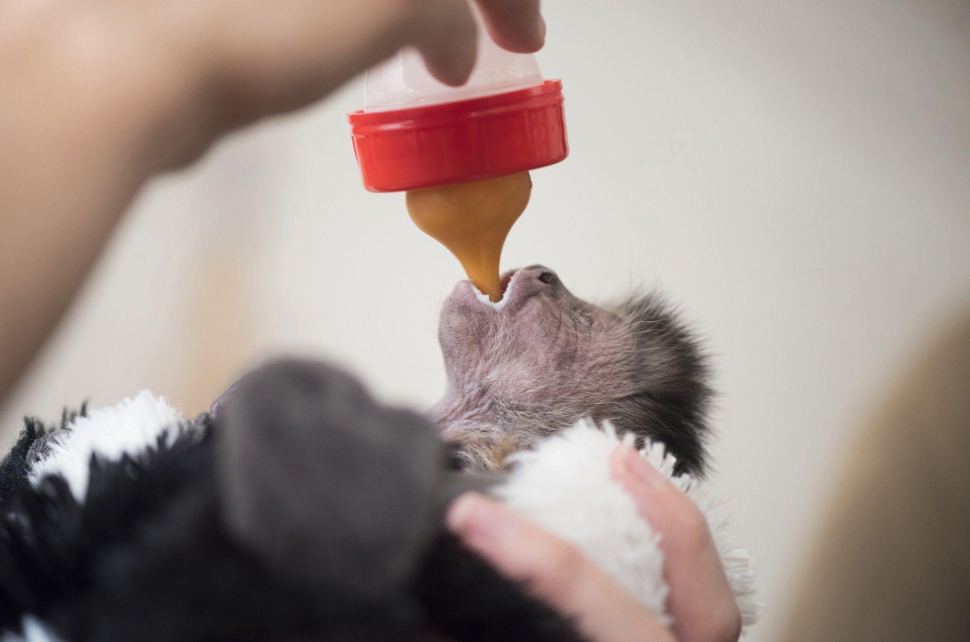 Debrecen, 2018. május 25. Labovszki Milla állatgondozó cumisüvegbõl etet egy újszülött kapucinus majomot (Cebus capucinus) a Debreceni Állat- és Növénykertben 2018. május 25-én. Az állat két héttel ezelõtt született. MTI Fotó: Balázs Attila