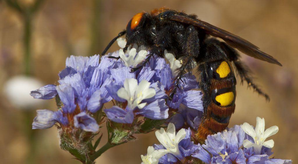Mammoth Wasp on flowers Samos Greece.  Biosphoto / Steen Drozd Lund