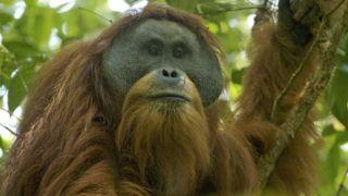 Sumatran Orangutan(Pongo abelii)Batang Toru Population Togus, adult flanged male Batang Toru ForestSumatran Orangutan Conservation ProjectNorth Sumatran Province Indonesia