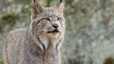 Head shot of a Canadian Lynx. Northern Minnesota