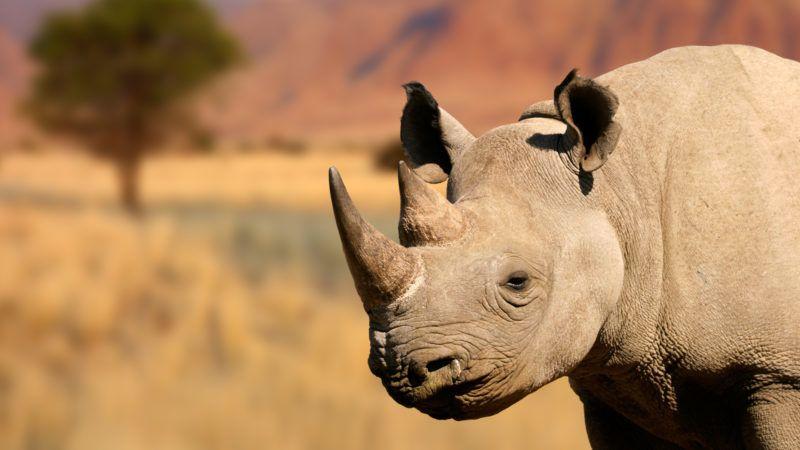 Portrait of a black (hooked-lipped) rhinoceros (Diceros bicornis)