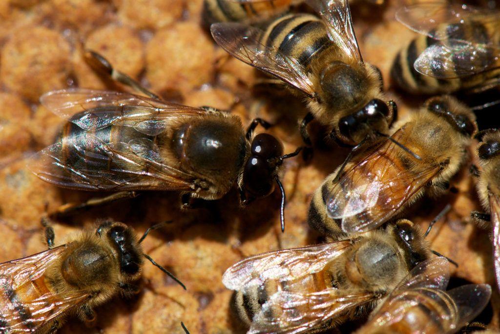 mely helminth hímek párosulás után halnak meg