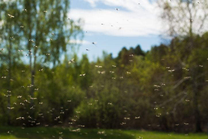 Swarm of mosquitoes