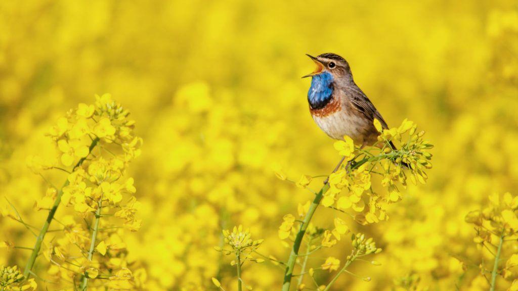 bluethroat singing in a rape field