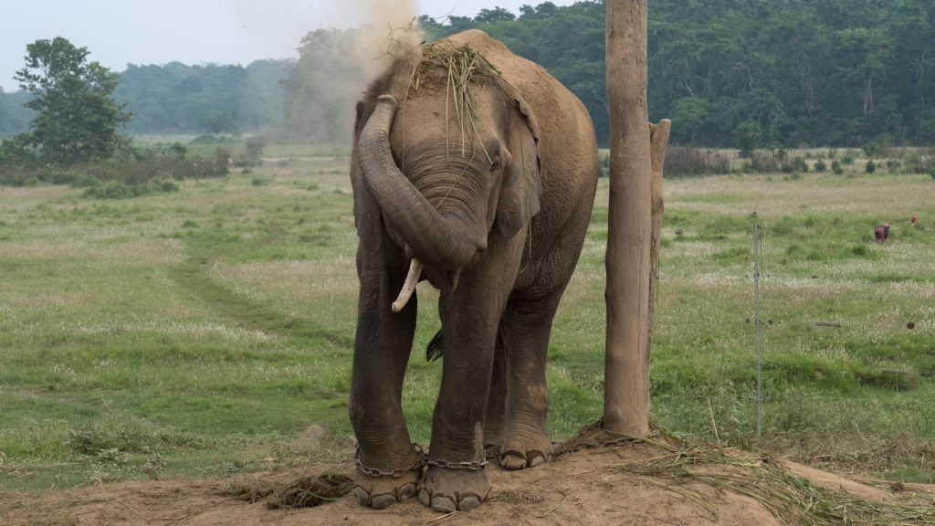 Elephants at the camp of the Chitwan National Park in southern Nepal.   usage worldwide
