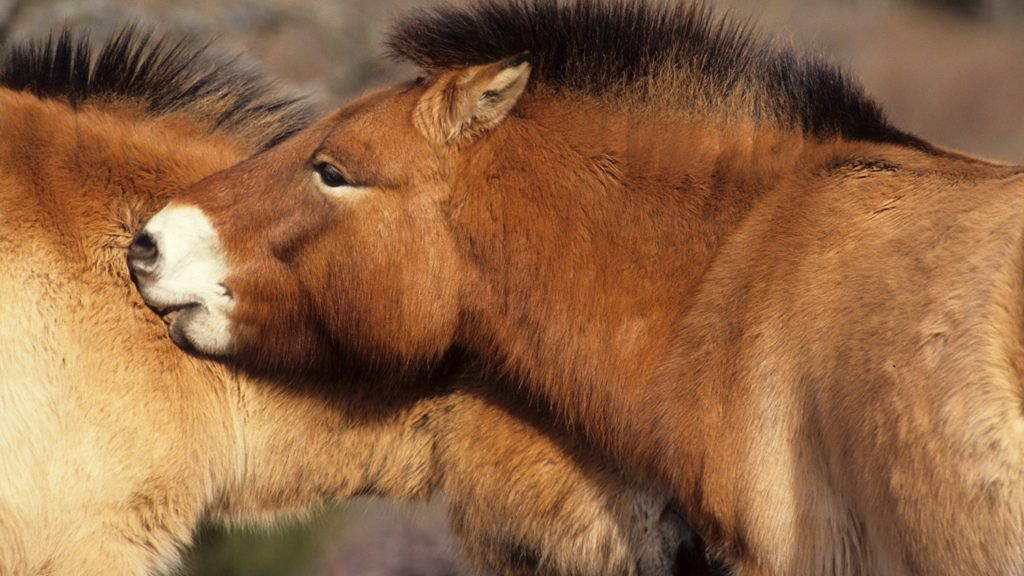 Horses of Przewalski Causse Méjan the Cevennes France.Breeding and reintroduction programBiosphoto / Michel Gunther