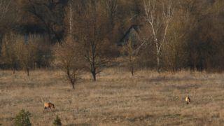 CHERNOBYL AREA  Przewalski horse and abandoned farm - Ukraine.    Biosphoto / Fabien Bruggmann