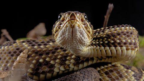 Portrait of Cascabel Rattlesnake (Crotalus durissus terrificus).    Biosphoto / Clement Carbillet