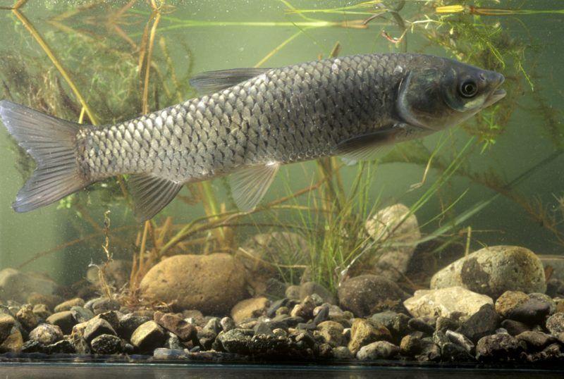 Grass carp in aquarium France.  Biosphoto / Denis Bringard