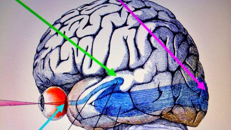 Budapest, 2013. január 15. Az emberi agy elképzelt képe. Kék nyíl: A fotonok elnyelõdnek a szemben és elektromos jelekké alakulnak át. Zöld nyíl: A szembõl az elektromos vizuális jelek a talamuszban lévõ magon át az agy vizuális területére jutnak. Lila nyíl: Az agyunk vizuális agyterülete.  Egy magyar kutató, Bókkon István vegyészmérnök, okleveles biológus mérnök, az amerikai látáskutató intézet professzora, számos jelentõs tudományos publikáció alapján azt állítja, hogy az agyunk vizuális része képes képeket létrehozni az idegsejtekben keletkezõ biofotonokkal a képzeletünk és álmaink során.  A vizuális idegsejtek kis csoportjai durva hasonlattal úgy mûködhetnek, mint a TV vagy a számítógép monitor pixelei. Ha beigazolódik az új elmélet, az teljesen új utat nyitna meg a tudomány számtalan területén, mint például a vakok részére fejlesztett vizuális protézisek esetében, vagy az agykutatásban. MTVA/Bizományosi: Balaton József  *************************** Kedves Felhasználó! Az Ön által most kiválasztott fénykép nem képezi az MTI fotókiadásának, valamint az MTVA fotóarchívumának szerves részét. A kép tartalmáért és a szövegért a fotó készítõje vállalja a felelõsséget.