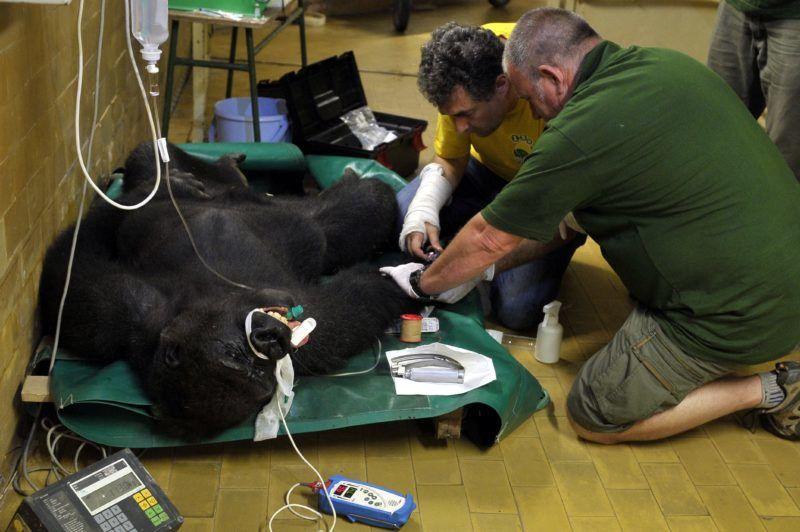 Budapest, 2018. június 11. A Fõvárosi Állat- és Növénykert nyolc és fél éves hím gorilláját, Bongót altatásban vizsgálják, mielõtt elszállítják új lakhelyére, a lengyelországi Opole állatkertjébe 2018. június 11-én. Az immár felnõtt gorilla apjával is szembekerülve dominanciára törekedett a többnyire családtagjaiból álló csapatban. A beltenyészet elkerülése miatt kellett másik állatkertbe vinni a fõemlõst. MTI Fotó: Kovács Attila