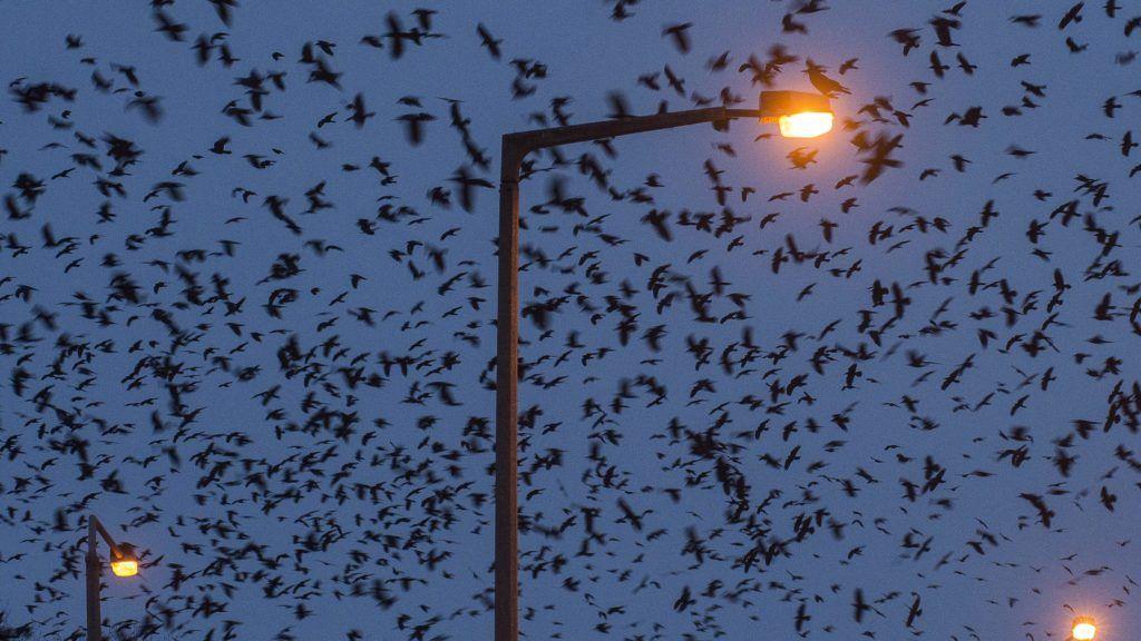 Nyíregyháza, 2016. január 17. Varjak keresnek helyet éjszakára Nyíregyházán, a Garibaldi utcában 2016. január 17-én. MTI Fotó: Balázs Attila