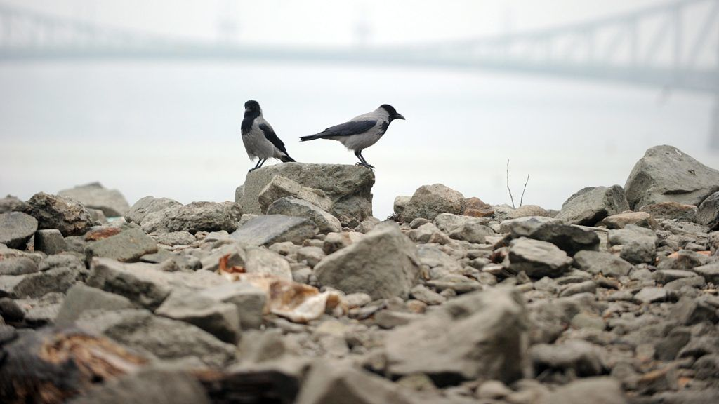 Budapest, 2011. december 4. Dolmányos varjúk az Erzsébet híd lábánál lévõ kõgáton. Alacsony a Duna vízállása Budapestnél, miután augusztus óta szinte egyáltalán nem volt csapadék Magyarországon. A folyón rekordalacsony vízállást mértek, emiatt a teherszállítás, közte a gabonaszállítás is akadozik. Az alacsony vízállás miatt életbe lépett az úgynevezett kisvizes intézkedési  terv második fokozata a Paksi Atomerõmûben. MTI Fotó: Czimbal Gyula