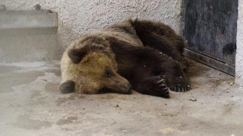 A Szegedi Vadasparkban gondozzák a Magyarországon kóborló medve