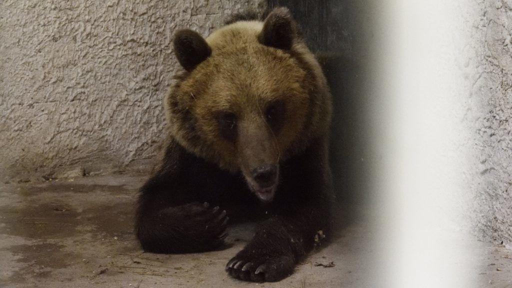 Szeged, 2018. június 10. A Sándorfalva közelében altató lövedékkel meglõtt, majd befogott medve a Szegedi Vadaspark medveházának egyik elkülönítõ helyiségében 2018. június 10-én. Az állat május végén elõször Nógrád megyében bukkant fel, majd több száz kilométeres kóborlás után 2018. június 8-án a Csongrád megyei Sándorfalva közelében fogták be. A 2-3 évesre becsült, fokozottan védett fajhoz tartozó állat visszakerül a Bükki Nemzeti Parkba, de szabadon engedése elõtt jeladót kap, hogy egyszerûbb legyen nyomon követni a mozgását. MTI Fotó: Kelemen Zoltán Gergely