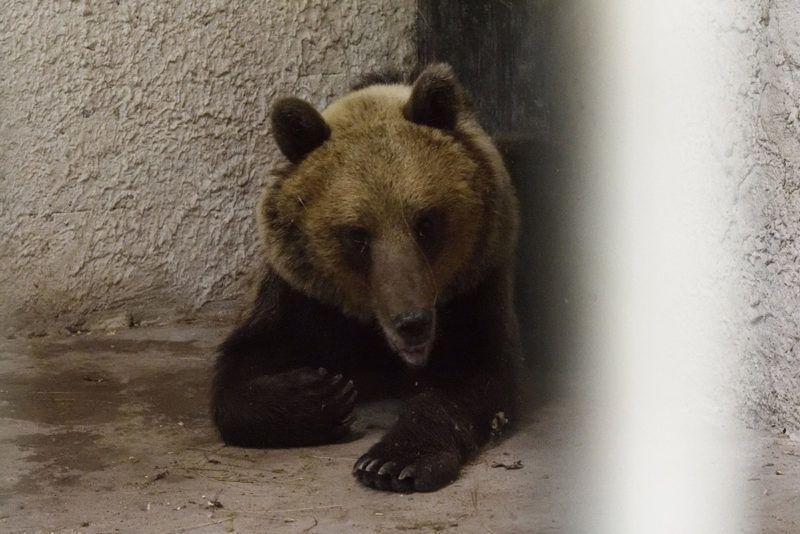 Szeged, 2018. június 10.A Sándorfalva közelében altató lövedékkel meglőtt, majd befogott medve a Szegedi Vadaspark medveházának egyik elkülönítő helyiségében 2018. június 10-én. Az állat május végén először Nógrád megyében bukkant fel, majd több száz kilométeres kóborlás után 2018. június 8-án a Csongrád megyei Sándorfalva közelében fogták be. A 2-3 évesre becsült, fokozottan védett fajhoz tartozó állat visszakerül a Bükki Nemzeti Parkba, de szabadon engedése előtt jeladót kap, hogy egyszerűbb legyen nyomon követni a mozgását.MTI Fotó: Kelemen Zoltán Gergely