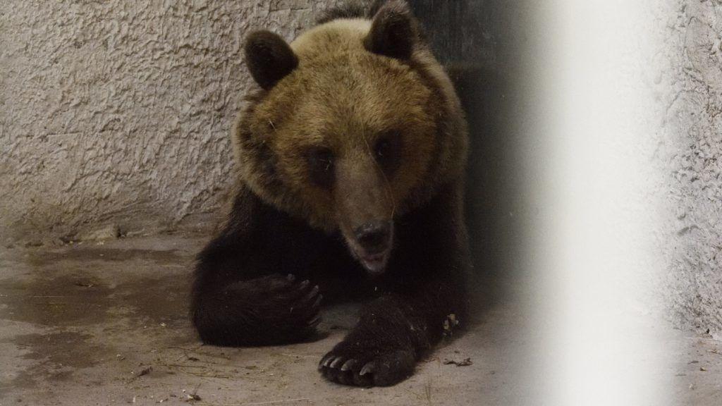 Szeged, 2018. június 10. A Szegedi Vadaspark medveházának egyik elkülönítõ helyiségében a Sándorfalva közelében altató lövedékkel meglõtt, majd befogott medve 2018. június 10. Az állat május végén elõször Nógrád megyében bukkant fel, majd több száz kilométeres kóborlás után 2018. június 8-án a Csongrád megyei Sándorfalva közelében fogták be. A 2-3 évesre becsült, fokozottan védett fajhoz tartozó állat visszakerül a Bükki Nemzeti Parkba, de szabadon engedése elõtt jeladót kap, hogy egyszerûbb legyen nyomon követni a mozgását. MTI Fotó: Kelemen Zoltán Gergely