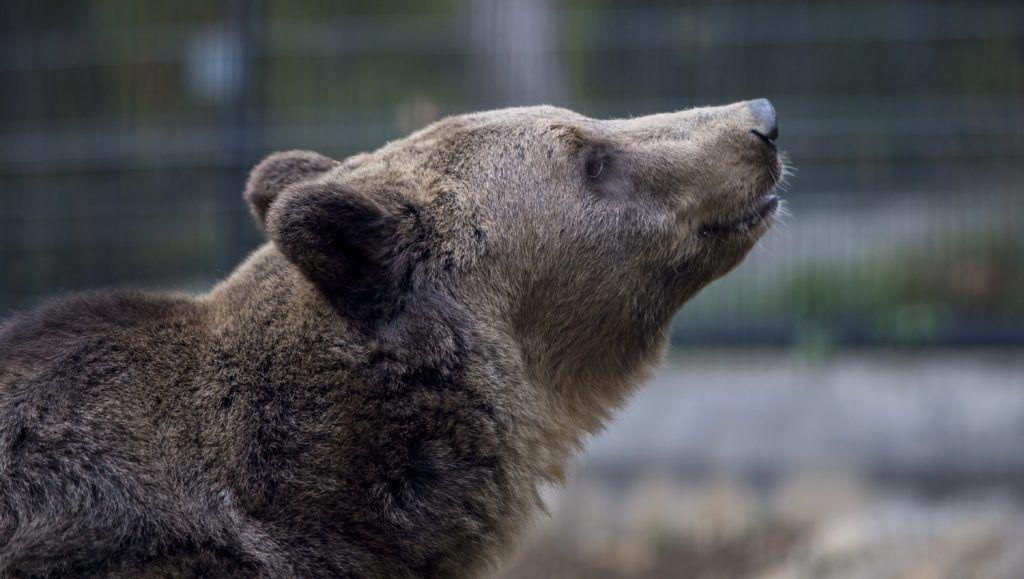 Pécs, 2016. október 20. A pécsi álletkert új, Nikoláj nevû hatéves barna medvéje (Ursus arctos) 2016. október 20-án. MTI Fotó: Sóki Tamás