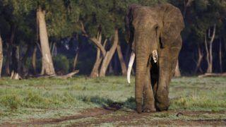 Lonely African Elephant (Loxodonta africana) leaving the forest along the Mara River, Masai Mara, Kenya.    Biosphoto / Joel Fischer