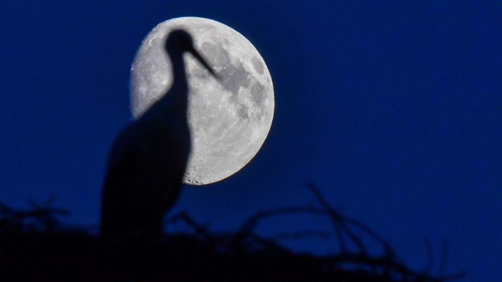 Sieversdorf, 2016. augusztus 15. Egy fehér gólya ül fészkében a Hold elõtt a németországi Sieversdorfban 2016. augusztus 14-én éjszaka. (MTI/EPA/Patrick Plül)