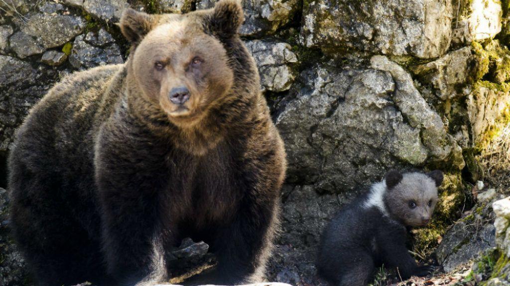 Szinte pontosan így kell viselkedni, ha medvével találkozik az ember – videó