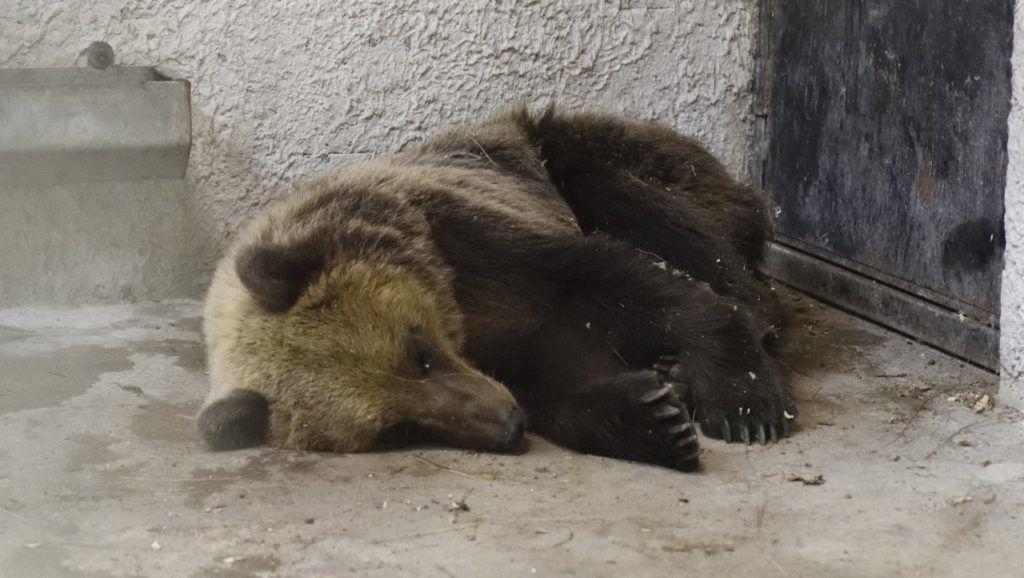 Szeged, 2018. június 10. A Szegedi Vadaspark medveházának egyik elkülönítõ helyiségében a Sándorfalva közelében altató lövedékkel meglõtt, majd befogott medve 2018. június 10-én. Az állat május végén elõször Nógrád megyében bukkant fel, majd több száz kilométeres kóborlás után 2018. június 8-án a Csongrád megyei Sándorfalva közelében fogták be. A 2-3 évesre becsült, fokozottan védett fajhoz tartozó állat visszakerül a Bükki Nemzeti Parkba, de szabadon engedése elõtt jeladót kap, hogy egyszerûbb legyen nyomon követni a mozgását. MTI Fotó: Kelemen Zoltán Gergely
