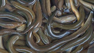 Fresh eels in Vietnamese market, Mui Ne.