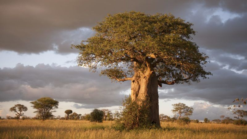 Beautiful Baobab trees at sunset at the avenue of the baobabs in Madagascar.
