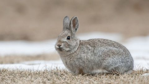 Mountain cottontail rabbit on grass and snow with dead grass