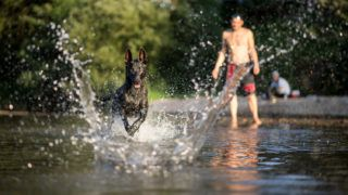 """dpatop - """"Cali Agent"""", a dog of the X-Herder breed, runs after a stick that has been thrown into the water, in in Tuebingen, Germany, 23 August 2017. Photo: Sebastian Gollnow/dpa"""