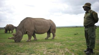 Jeremiah Kimathi, one of the dedicated rhino care givers at the ol-Pejeta conservancy, stands next to Najin, one of the only two remaining female northern white rhinos, in their paddock on March 20, 2018 in Nanyuki, north of capital Nairobi. Sudan, the last male northern white rhino, has died in Kenya at the age of 45, after becoming a symbol of efforts to save his subspecies from extinction, a fate that only science can now prevent.  / AFP PHOTO / TONY KARUMBA