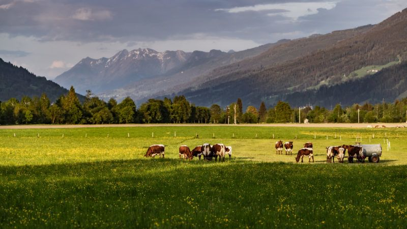 """Cows graze in a pasture in front of the mountain panorama, Kaprun, Austria on 2018/05/07. (Photo credit should read """"JFK/APA-PictureDesk via AFP"""")"""