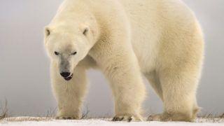 Polar bear (Ursus maritimus) Angry big polar bear, Churchill, Manitoba, Canada.    Biosphoto / Alberto Ghizzi Panizza