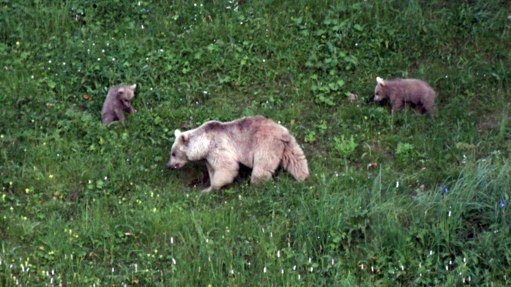 KARS, TURKEY - JUNE 29: A brown bear family searching for food, photographed in Sarikamis district in Kars province of Turkey on June 30, 2018.  Huseyin Demirci / Anadolu Agency