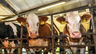 Hajdúböszörmény, 2018. május 28. Tehenek fejés közben a 80 férõhelyes karusszelben állnak a Dorogi úti szarvasmarha telepen. A hajdúböszörményi Béke Mezõgazdasági Kft.-ben 2000 tehén 18,7 millió liter tejet adott az 2017-es évben, a társaság éves árbevételének 38-40 százaléka a tej eladásából  származik, amit itthon értékesítenek. MTVA/Bizományosi: Oláh Tibor  *************************** Kedves Felhasználó! Ez a fotó nem a Duna Médiaszolgáltató Zrt./MTI által készített és kiadott fényképfelvétel, így harmadik személy által támasztott bárminemû – különösen szerzõi jogi, szomszédos jogi és személyiségi jogi – igényért a fotó készítõje közvetlenül maga áll helyt, az MTVA felelõssége e körben kizárt.