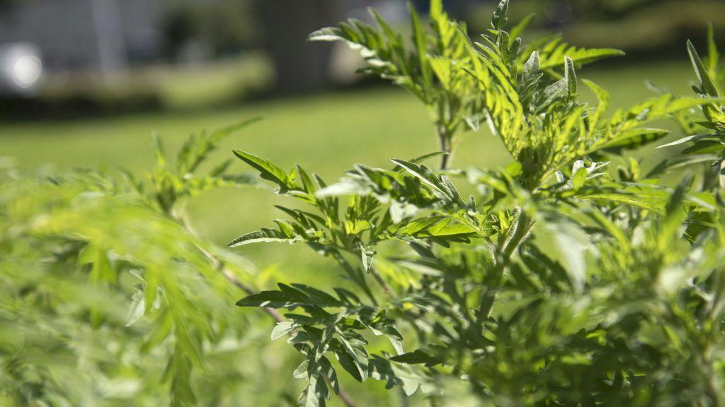 Budapest, 2016. augusztus 2. Ürömlevelû parlagfû, vagy egyszerûen parlagfû (Ambrosia artemisiifolia) a Döbrentei téren, a fõváros I. kerületében. MTVA/Bizományosi: Turbéky Eszter  *************************** Kedves Felhasználó! Ez a fotó nem a Duna Médiaszolgáltató Zrt./MTI által készített és kiadott fényképfelvétel, így harmadik személy által támasztott bárminemû – különösen szerzõi jogi, szomszédos jogi és személyiségi jogi – igényért a fotó készítõje közvetlenül maga áll helyt, az MTVA felelõssége e körben kizárt.