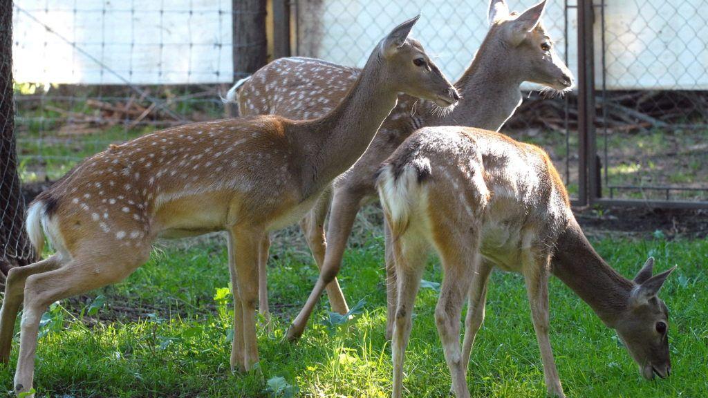 Szeged, 2007. szeptember 10. Münchenbõl érkezett mezopotámiai dámszarvasok a Szegedi Vadasparkban. Csak félezer példány él a Földön a veszélyeztetett állatfajból, közülük négyet - egy bikát és három nõstényt - a Szegedi Vadasparkban láthat a közönség. MTI Fotó: Németh György