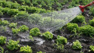 Nagykanizsa, 2009. május 6. Öntözik a salátákat Nagykanizsa kiskanizsai városrészében lévõ egyik kertben. Beindult a primõrszezon, a földeken lekerültek a fóliák a sátrakról, és a piacokon egyre több szabadföldi termesztésû zöldség jelenik meg. A fûthetõ melegházakban termelt zöldség az összes primõrnek alig 10 százaléka. A Magyar Zöldség–Gyümölcs Szakmaközi Szervezet és Terméktanács adatai szerint átlagosan, mintegy  100 hektáron termelnek a gazdák korai primõröket. MTI Fotó: Varga György