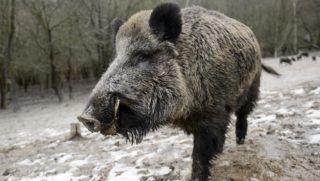 Salgótarján, 2015. január 10. Vaddisznó (Sus scrofa) az Ipoly Erdõ Zrt. somoskõi vadasparkjában, Salgótarjánban 2015. január 10-én, ahol télen etetik a vadakat. MTI Fotó: Komka Péter