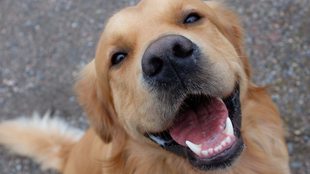 Happy dog smiling.