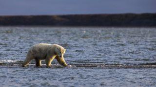 Kaktovik, 2017. szeptember 27. Bálnatetem szagát követve érkezik egy jegesmedve az alaszkai Kaktovik településhez az éves bálnavadászat idején, 2017. szeptember 10-én. (MTI/EPA/Jim Lo Scalzo)