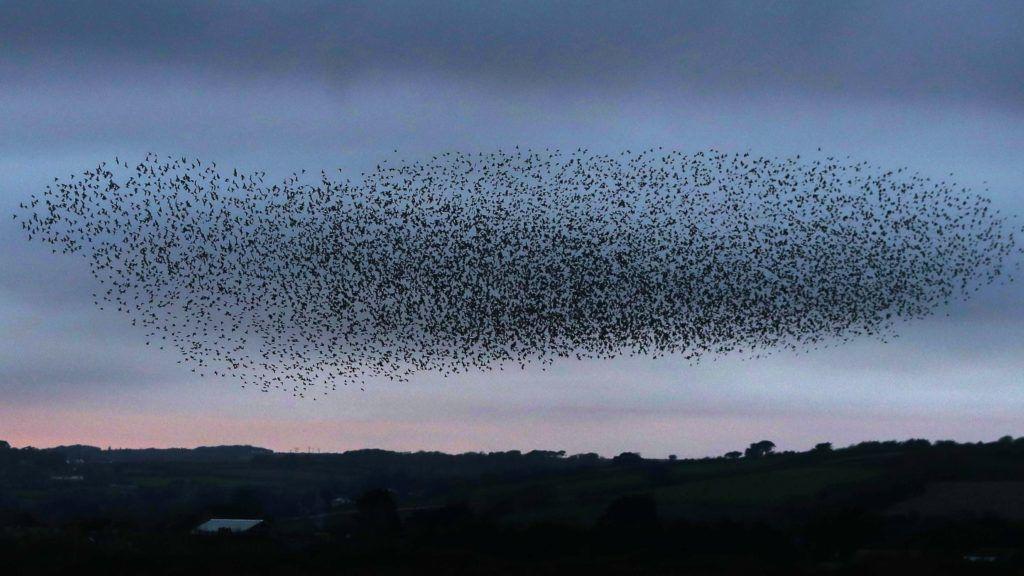 Marazion, 2017. október 27. Seregélyraj repül a Cornwall megyében fekvõ Marazion határában 2017. október 27-én. (MTI/EPA/Neil Hall)